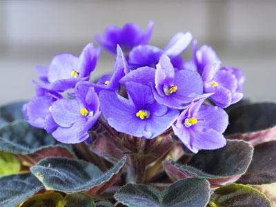African Violet Types