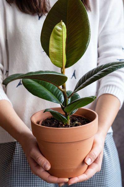 Rubber Fig Potting & Repotting