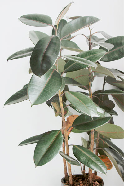 Rubber Tree Plant Size