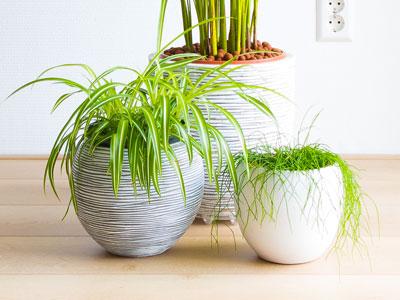 Spider Plant Size
