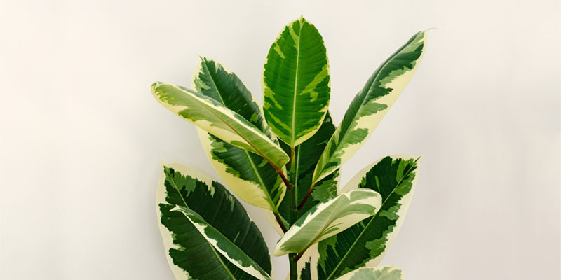 Variegated Ficus Elastica - Different Types of Rubber Tree Plants