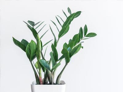 ZZ Plant / Zanzibar Gem