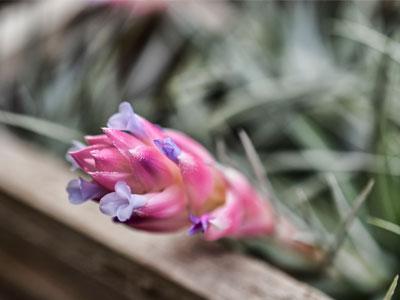 Air Plants die After Flowering