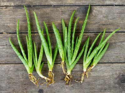 Aloe Vera Plant Propagation