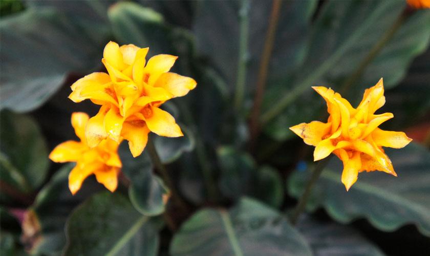 Calathea Plant Flower