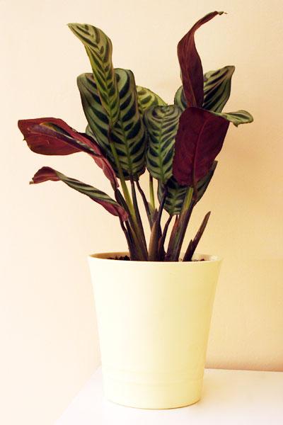 Calathea Plant Temperature & Humidity