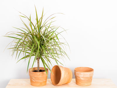 Dragon Tree Plant Propagation