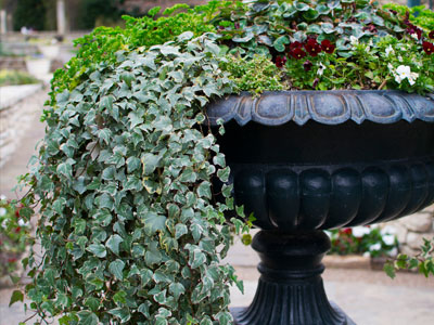 English Ivy Light Requirements