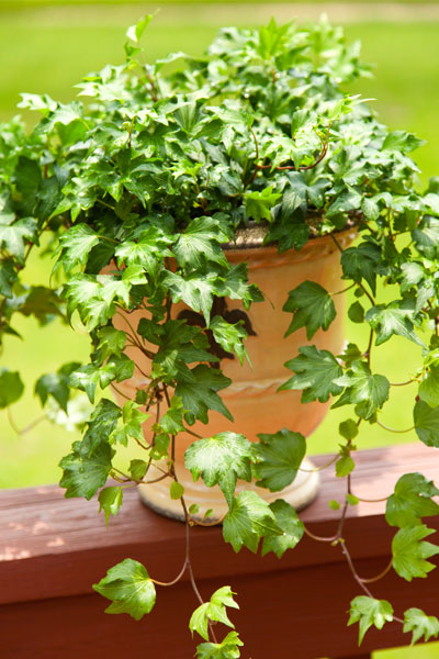 English Ivy Plant Propagation
