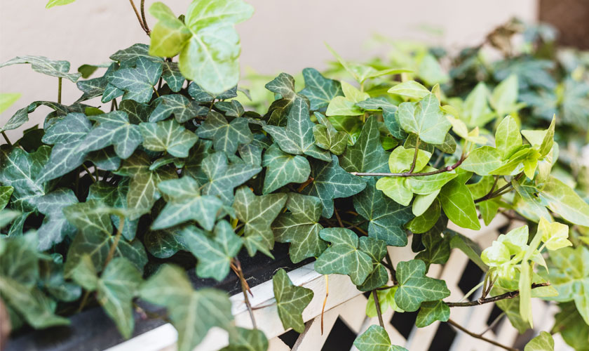 Different Types of English Ivy Plants