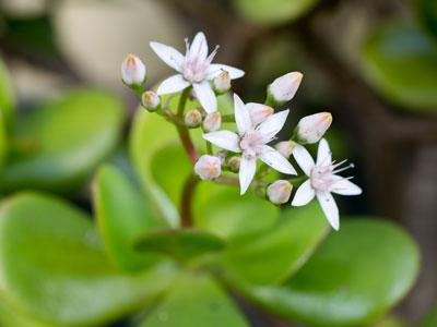 Jade Plant Flowering