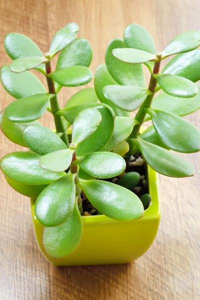 Jade Plant Watering