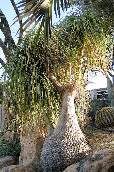 Ponytail Palm Size