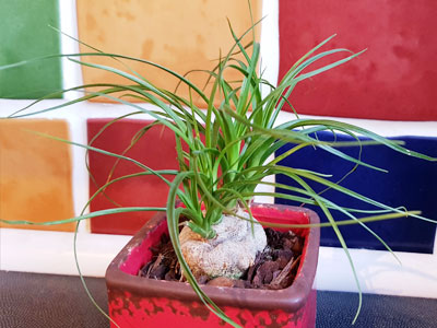 Ponytail Palm Watering