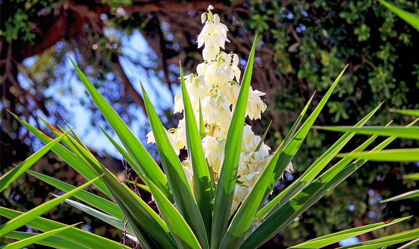 Yucca Plant Flower