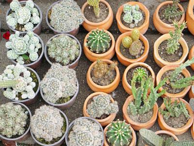 How Fast do Cactus Grow?