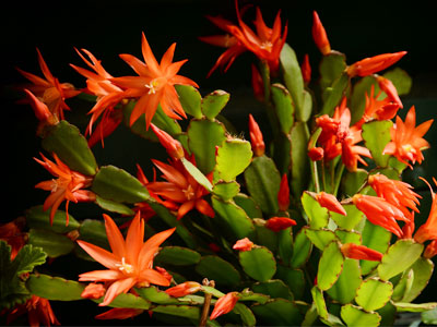 Christmas Cactus - Care, Growing