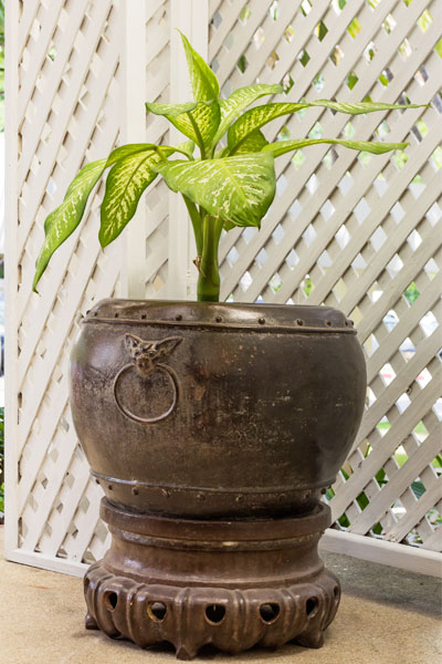 Dumb Cane Plant Propagation