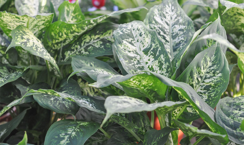 Different Types of Dumb Cane Plants