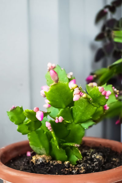 How to Make my Christmas Cactus Flower?