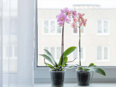 Phalaenopsis Orchid Light Requirements