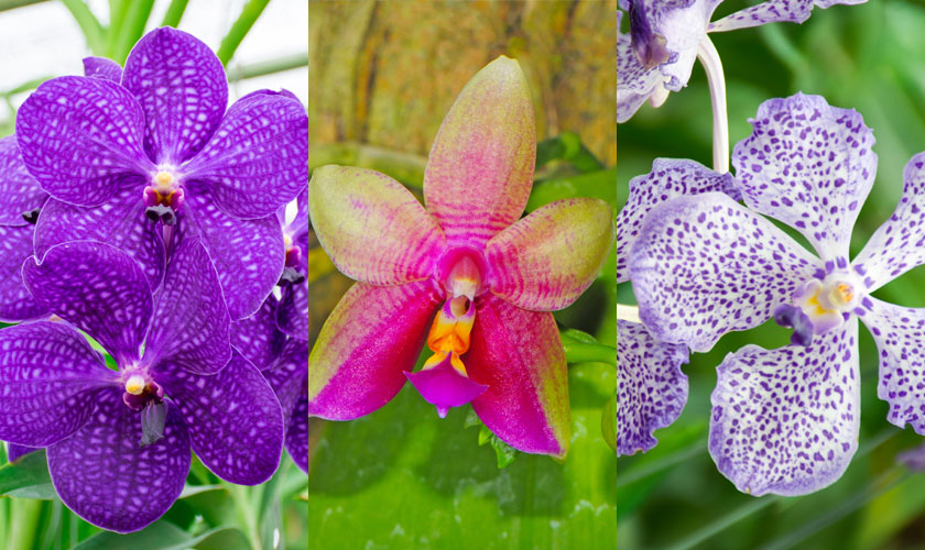 Different Types of Phalaenopsis Orchid Plant