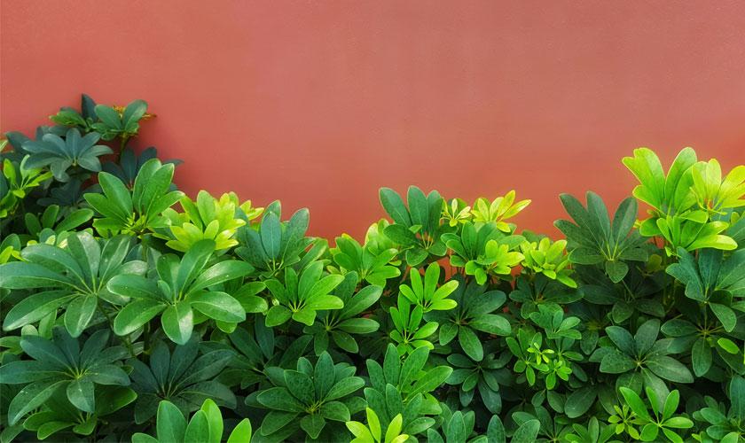 Schefflera Plant FAQ