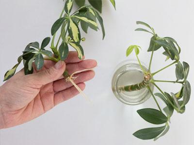 Schefflera Plant Propagation
