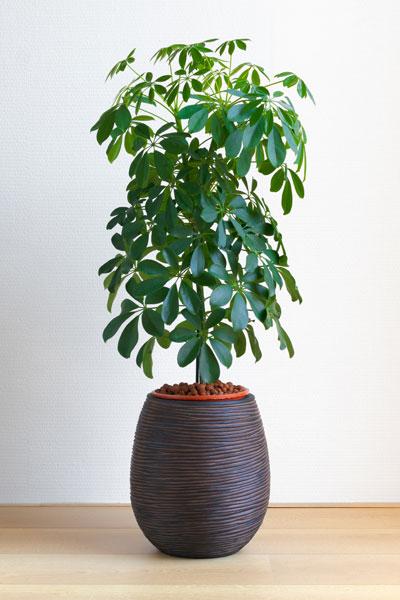 Schefflera Plant Size