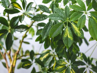 Schefflera Plant Watering