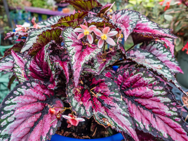 Rex Begonia Plant Care Growing Watering Propagation Plant Index