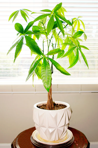 Money Tree Plant Care Growing Watering Flowering Propagation Plant Index
