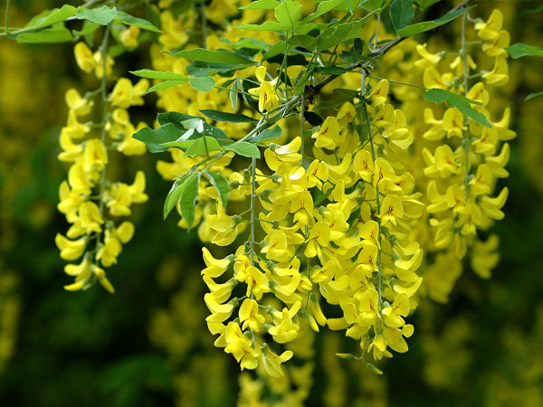 3 cm high 10 Beautiful Flowers Trees yellow flowering especially for Track N and Z,