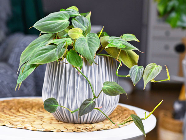How To Care For Philodendron Micans Plant Index Philodendron micans have curling leaves that unfurl as they grow into a myriad of colors depending on the amount of natural light they have. how to care for philodendron micans
